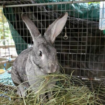 Raising Meat Rabbits | Breeds, Feed, Housing