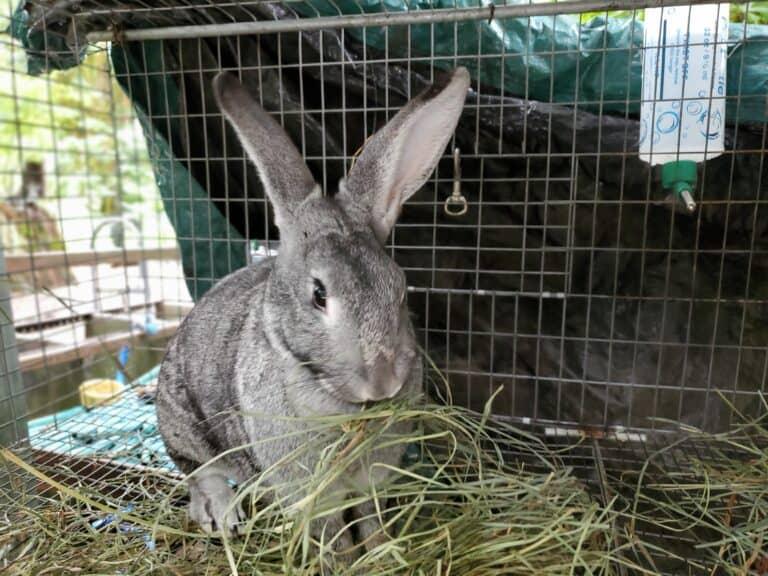 Raising Meat Rabbits | Breeds, Feed, Housing