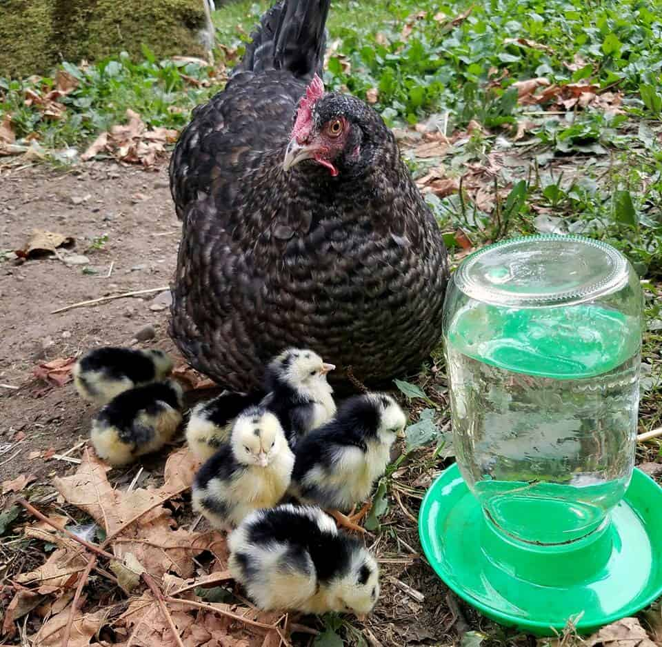 homesteading with livestock - births, illnesses and death