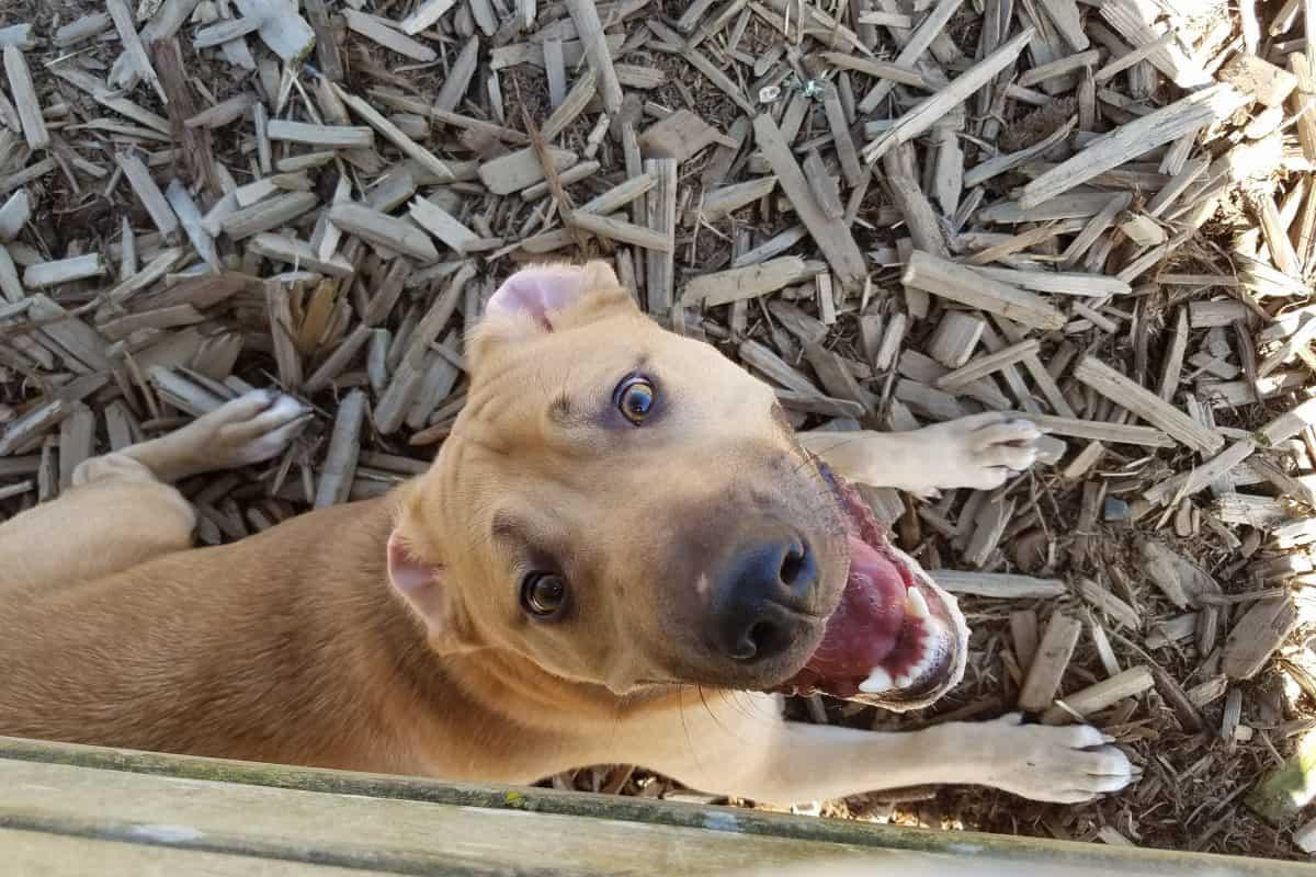 Natural Dog Treats | Liver and Turmeric