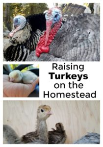 Raising Turkeys on the Homestead