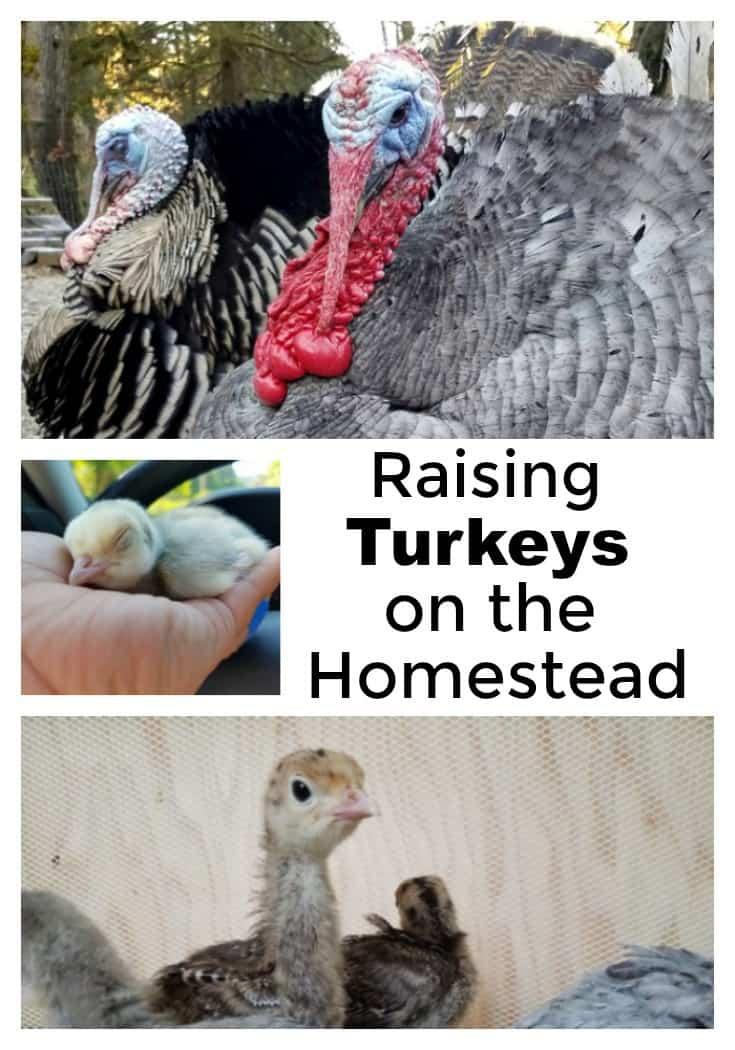 2aae6290f9 Raising Turkeys on the Homestead