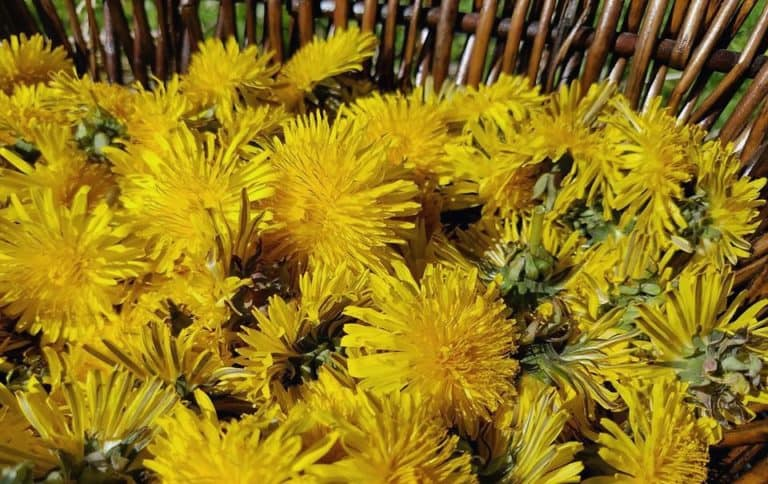 25 uses for the dandelion plant