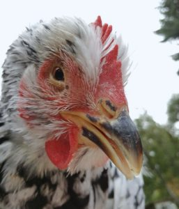 chicken respiratory infection