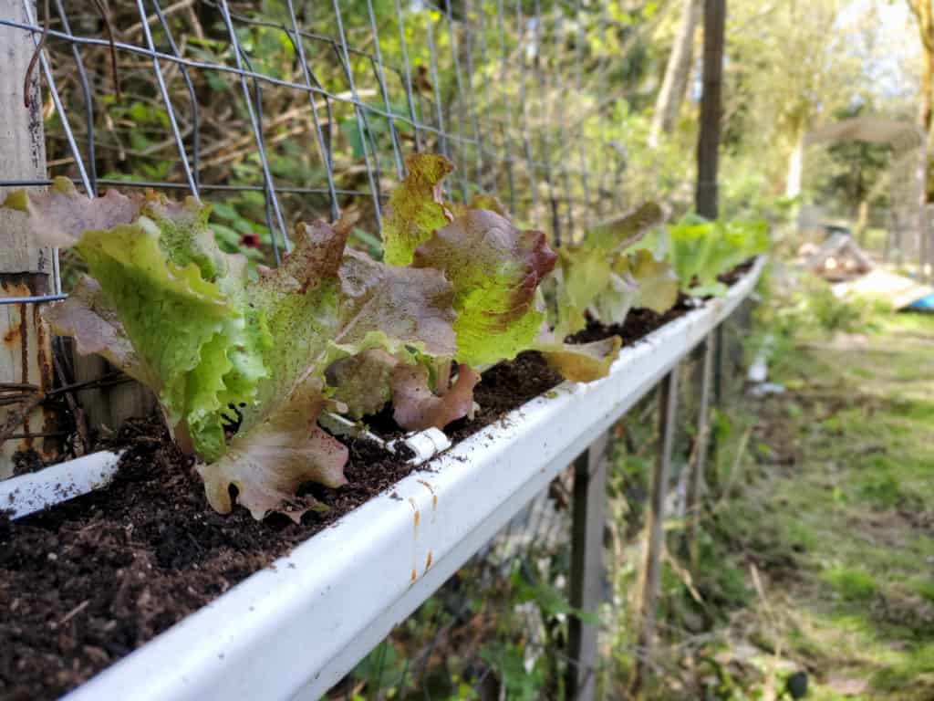A vertical herb garden, or any short root vegetables like red sail lettuce grow great in a gutter garden.