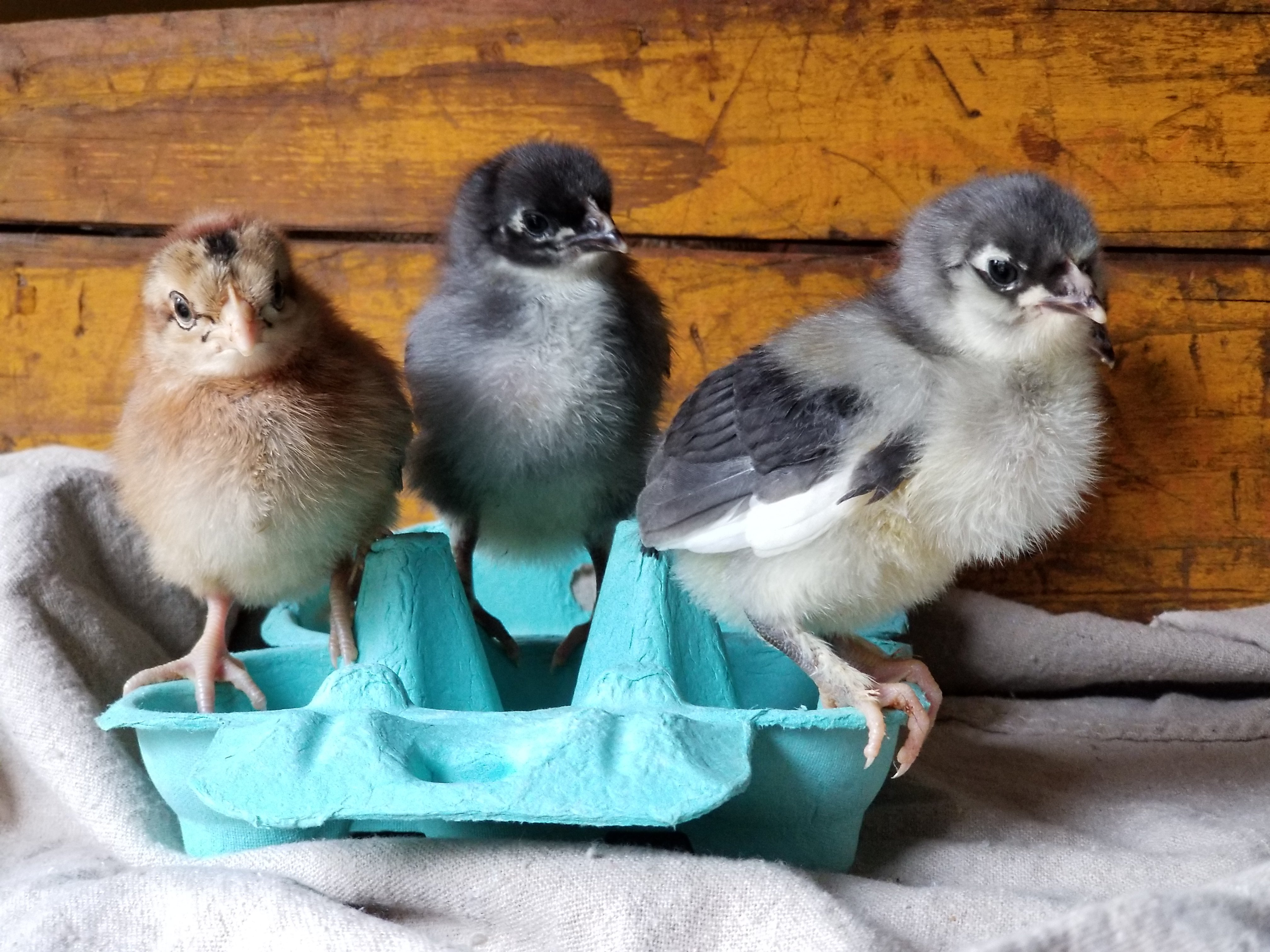 Chick Care - How to Prevent Coccidiosis without Medicated Feed