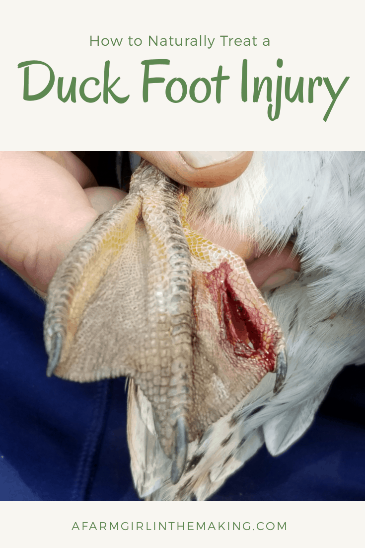Duck Foot Injury | How to Treat it Natually (with Video)