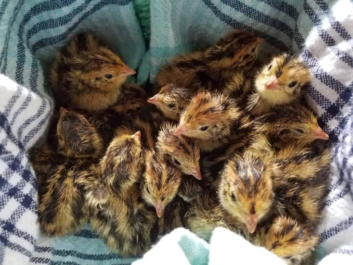 Raising Coturnix Quail for Meat and Eggs
