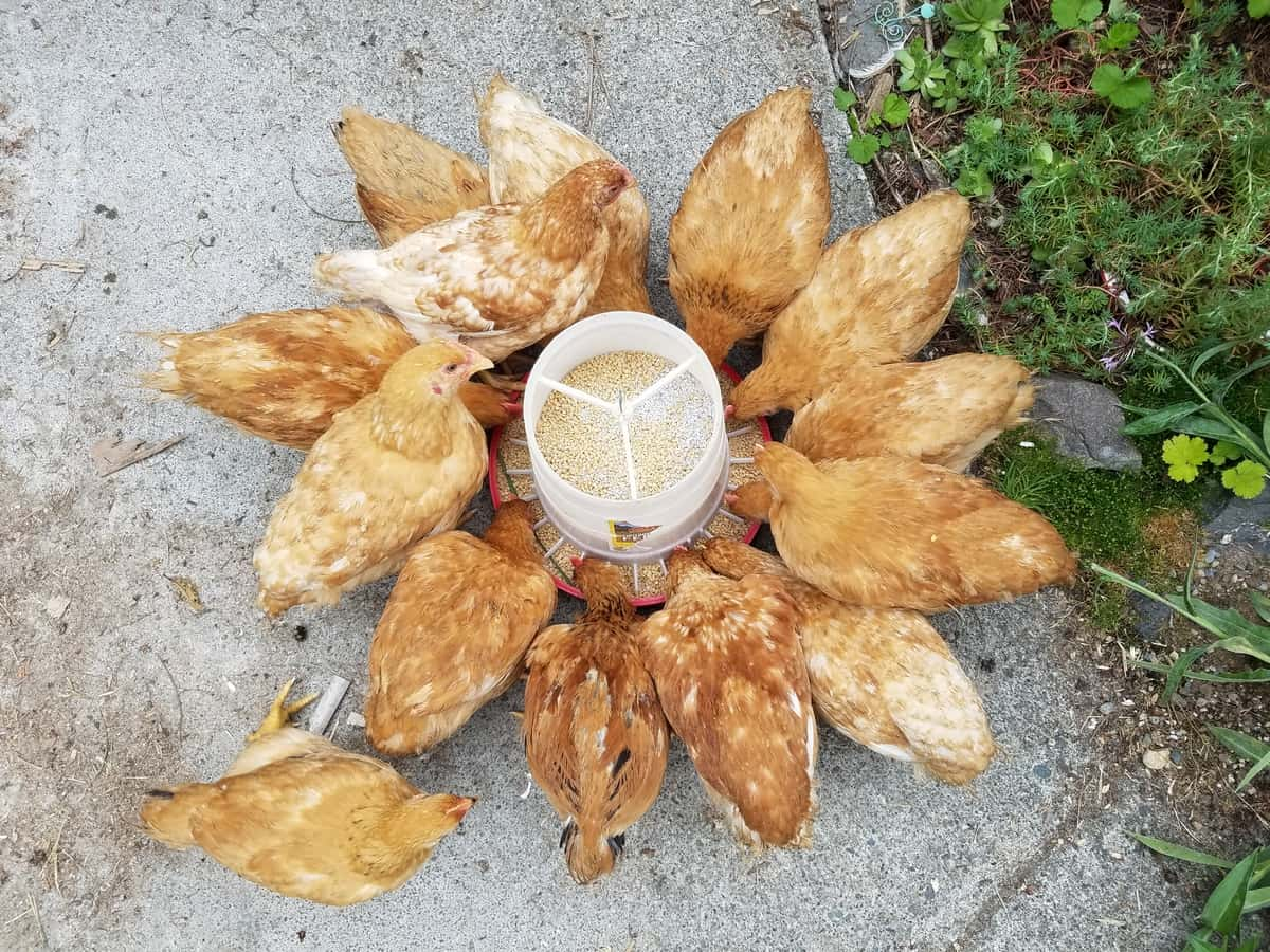 Raising Broiler Chickens: Breed, Feed, Housing