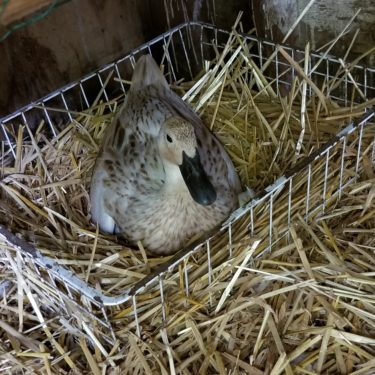 Top 13 Duck Breeds to Raise for Duck Eggs