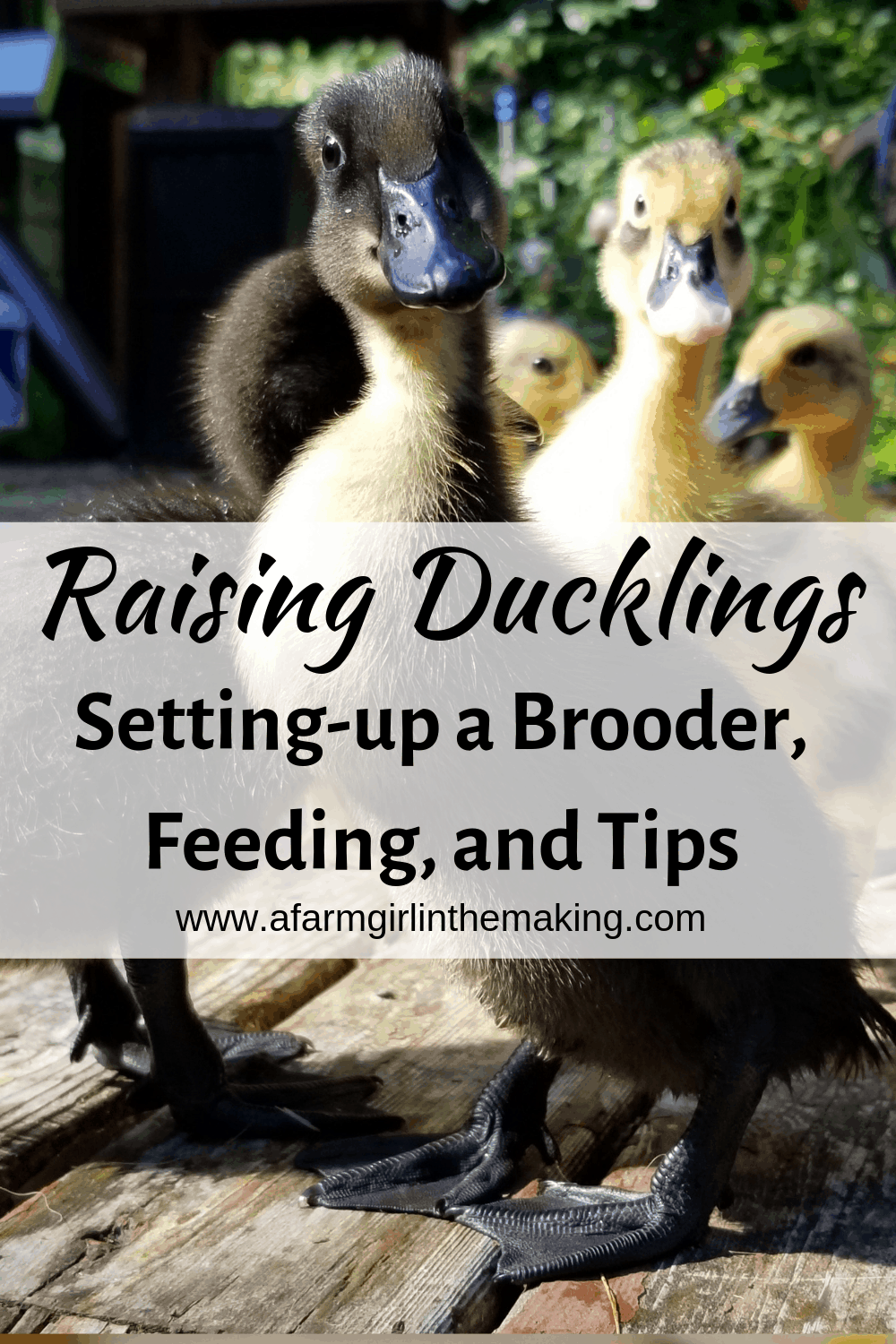 Raising Ducklings | Brooding, Feed, Tips