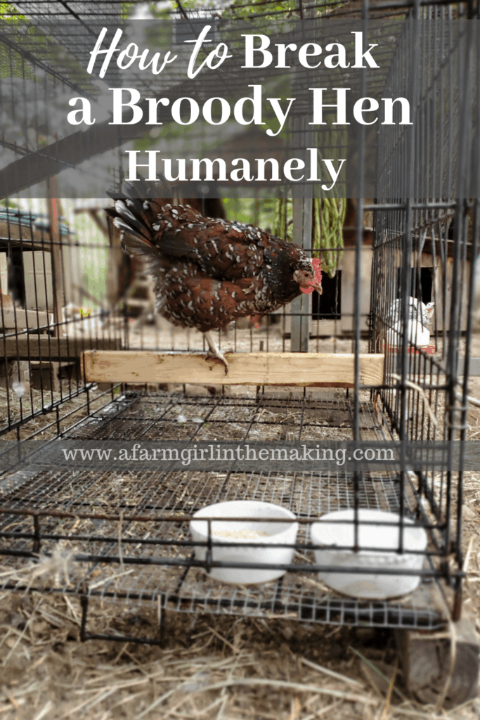 how to break a broody hen