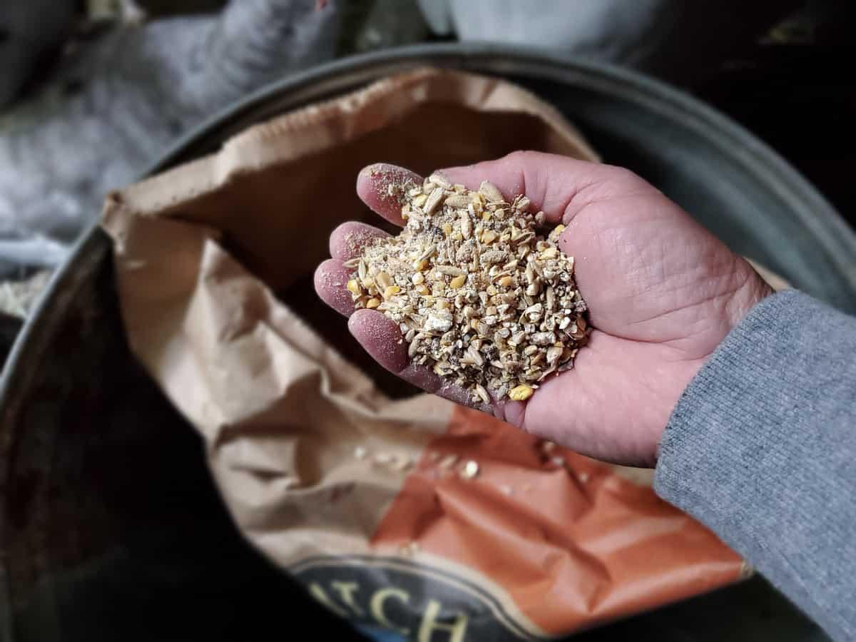 feeding goats fermented grains