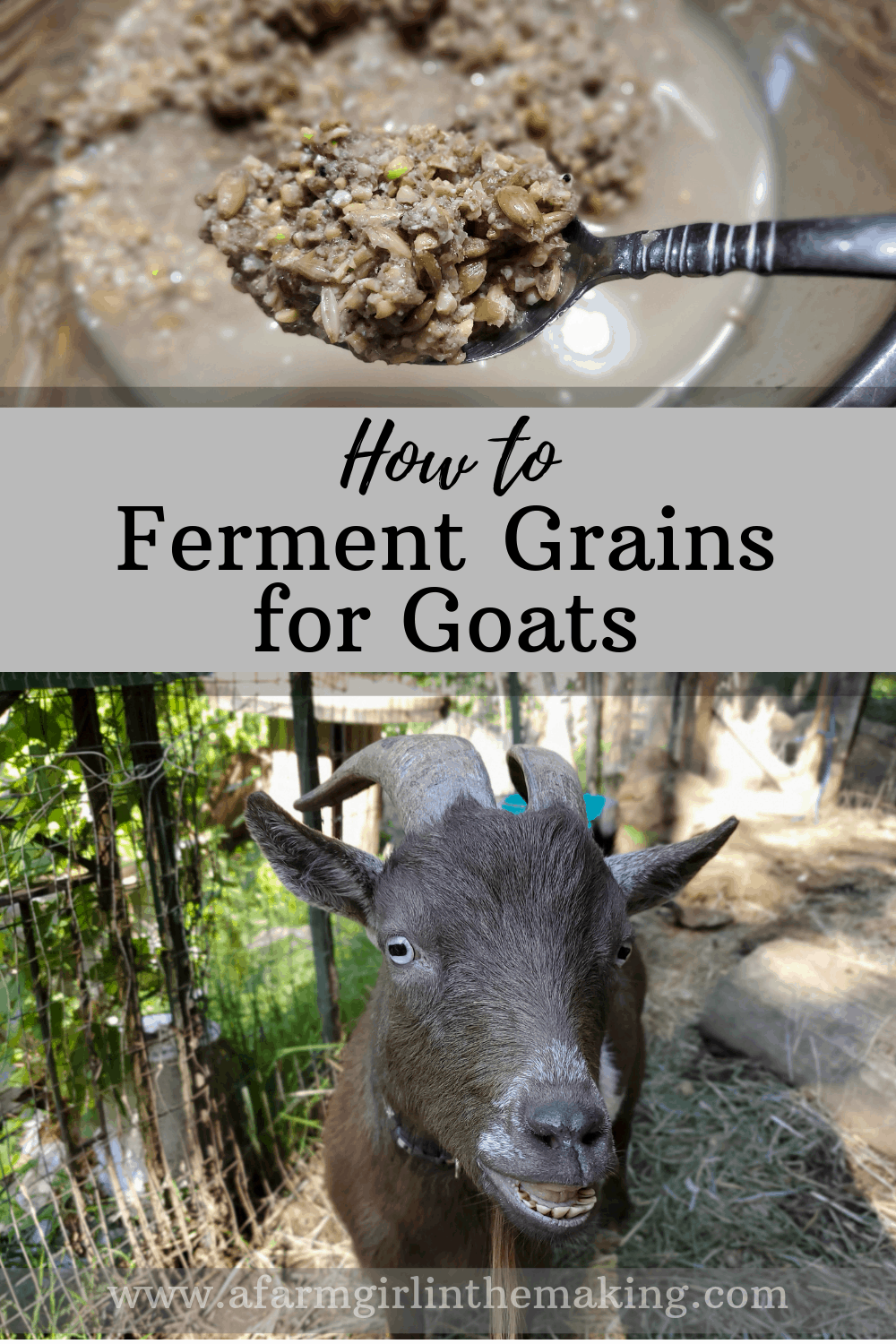feeding goats fermented grains