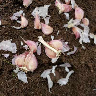 How to Plant Garlic and When to Harvest It