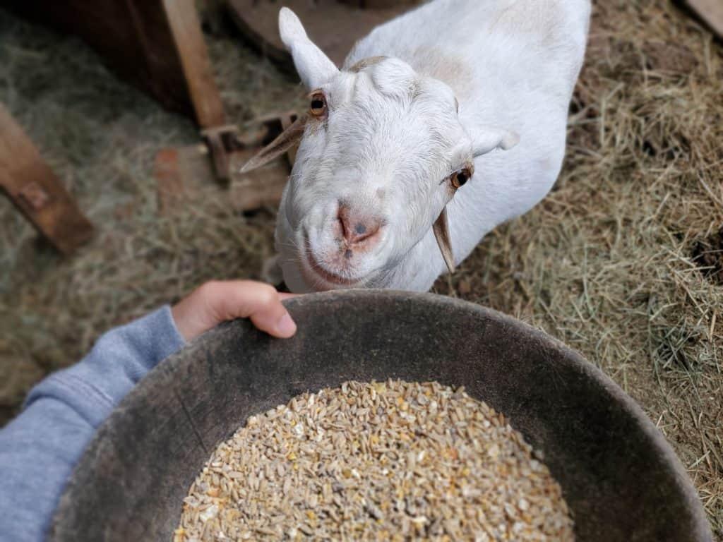 goat diarrhea treatment