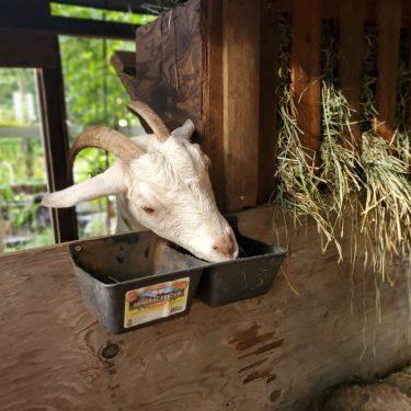 homemade goat electrolyte
