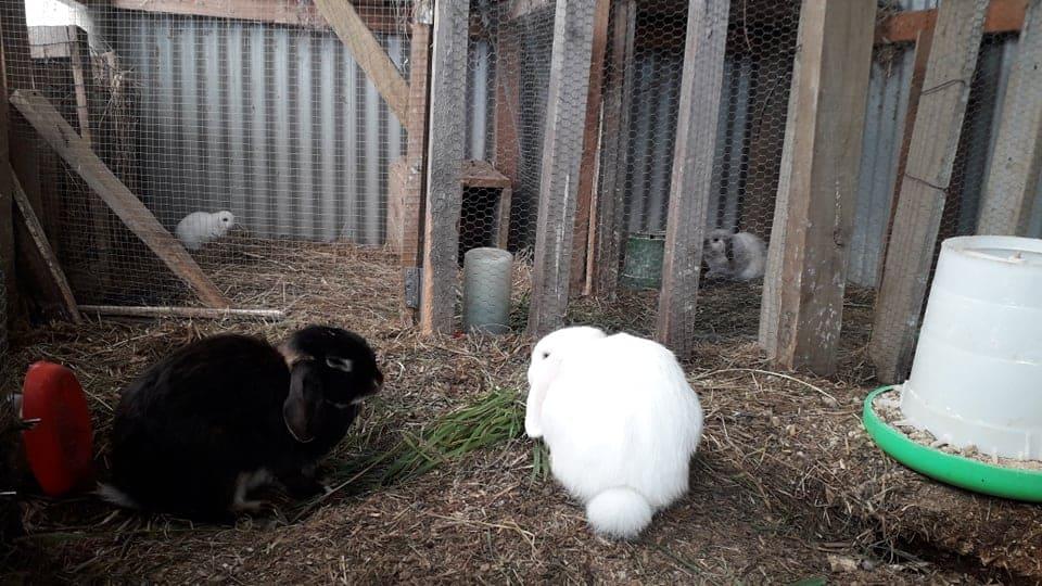 rabbit colony housing