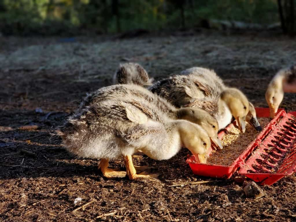 keeping waterfowl healthy by offering the appropriate type of feed.