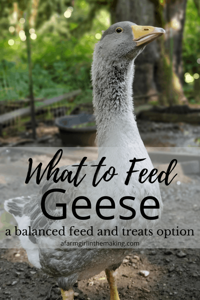 what to feed geese