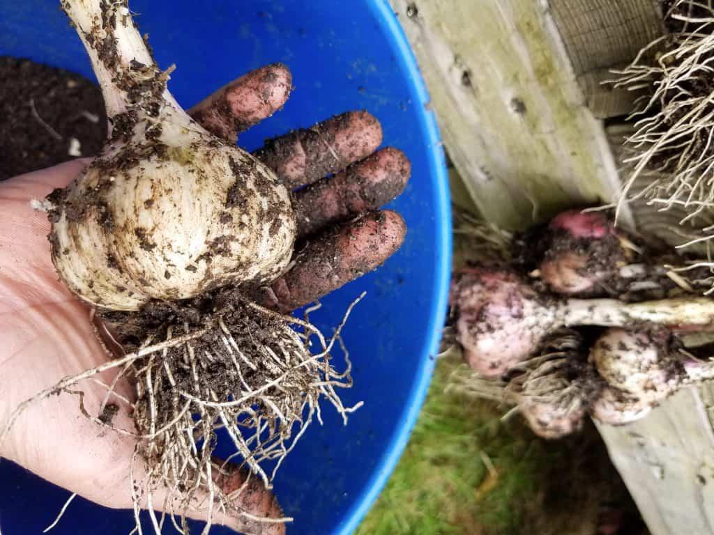 garlic harvest time