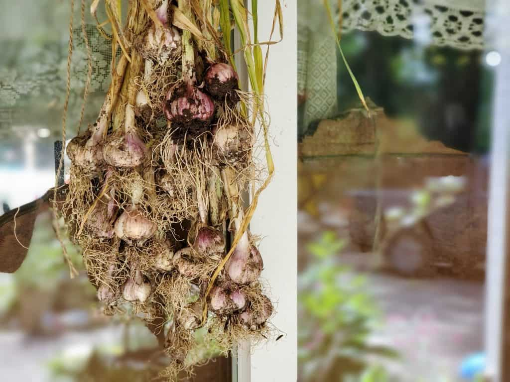 how to cure and store garlic