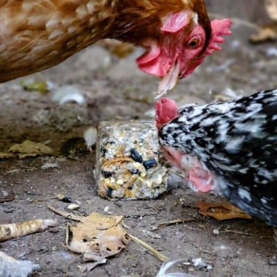 Homemade Suet Cakes for Chickens   High Protein Treats for Molting