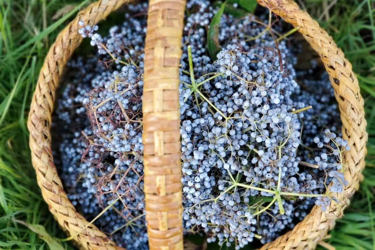 How to Dry Elderberries and Store for Long-Term Storage