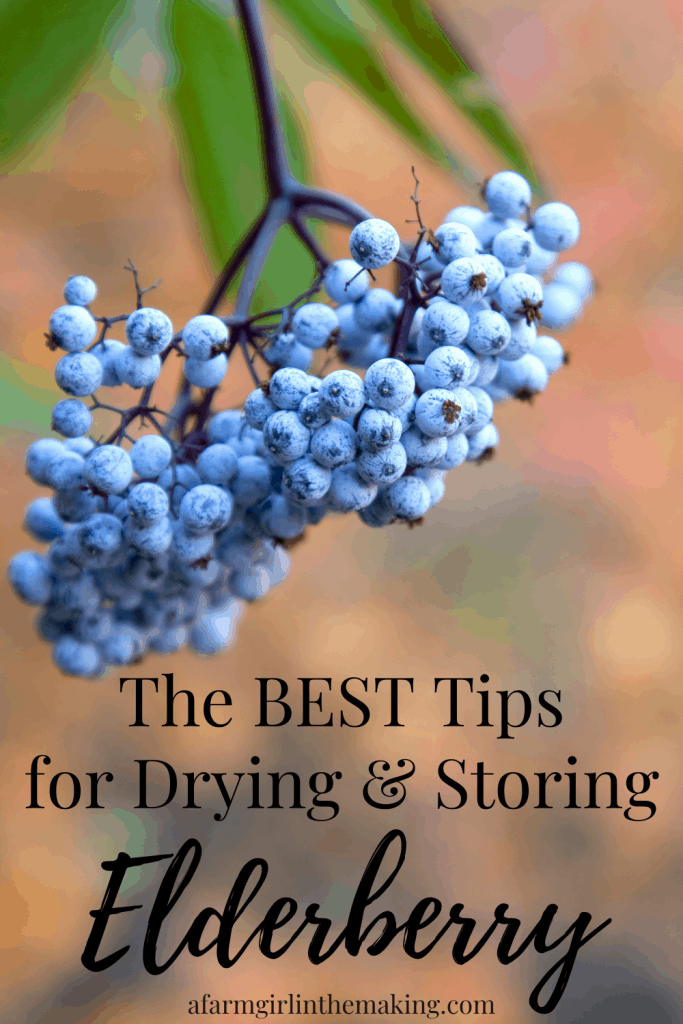 how to dry elderberries