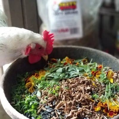 Immune Boosting Herbs for Chickens and Other Poultry