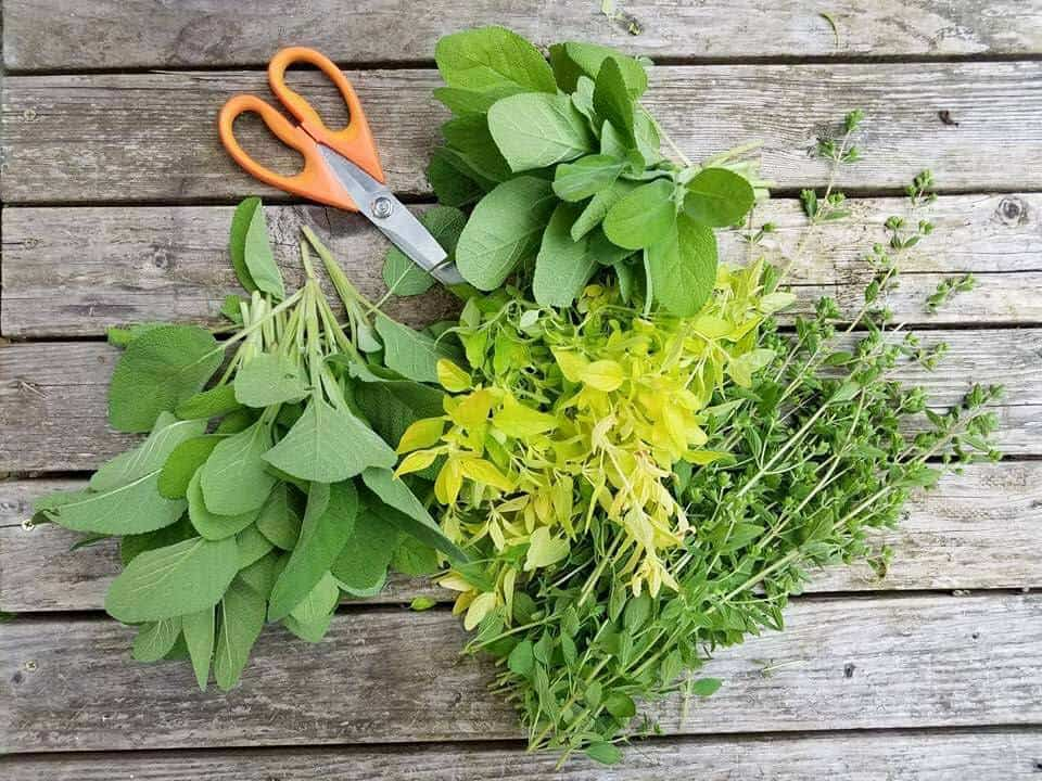 immune boosting herbs for chickens, oregano, thyme, sage