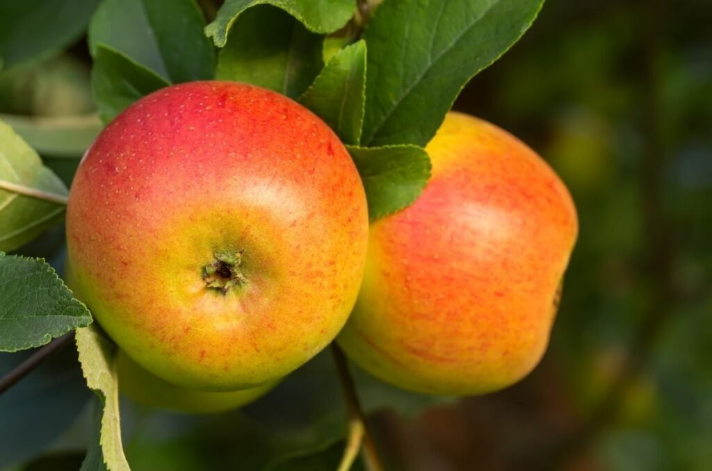 Storing apples for winter cooking and eating include the Fuji variety.